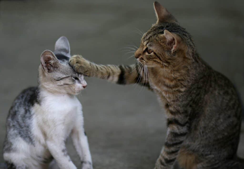 Le Sida du chat : FIV et FeLV